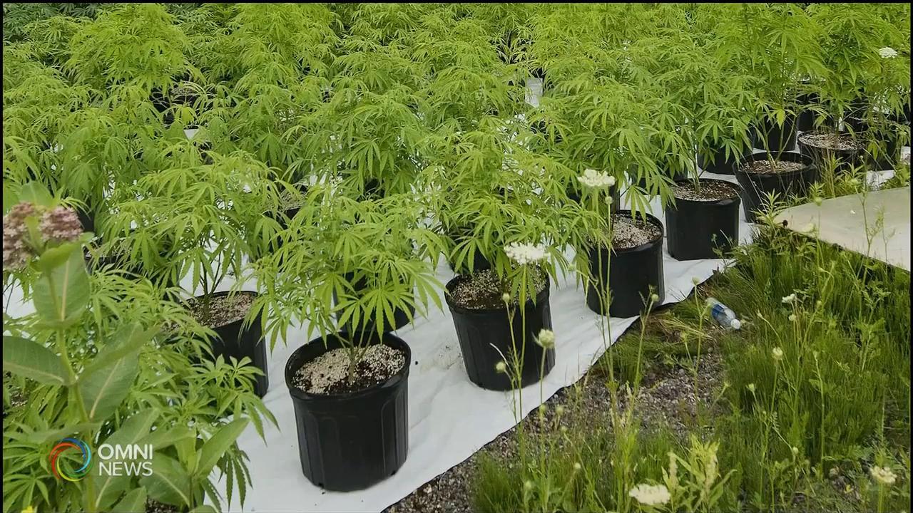 约克区警方打击非法大麻- Oct 29, 2020